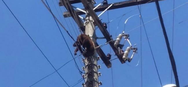 Macaco morto na rede elétrica.